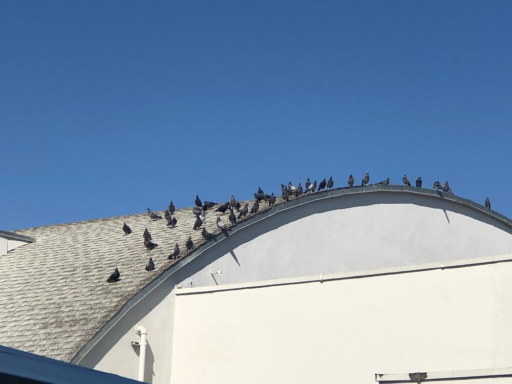 Pigeons on the Ensign gym